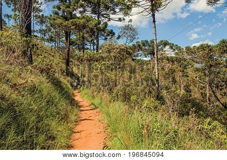 Campos do Jordão, Brazil - January 15, 2015. View of trail with people in pine forest at the Horto Florestal, near Campos do Jordão, a city famous for its mountain and hiking tourism. São Paulo State