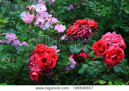 Red Roses Bushes in the garden. Bouquet of bright red and pink roses. Pink and red roses on the bushes. Landscaping. Caring for garden roses shrubs