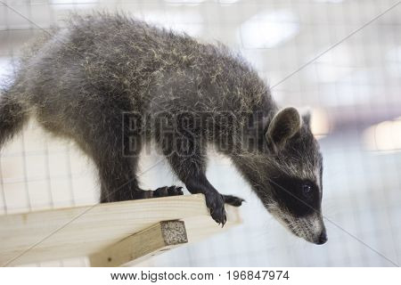 A small raccoon sits on a shelf and looks down