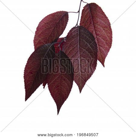 Close-up of organic, fresh and bright red autumn leaves, isolated on a white background. Sunny pink foliage on a brown branch. Colourful environment. Beautiful branch with red leaves of a plum tree.