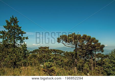 View of treetops on a pine forest at the Open-air Museum Felicia Leirner near Campos do Jordão, a city famous for its mountain and hiking tourism. Located in the São Paulo State, southwestern Brazil