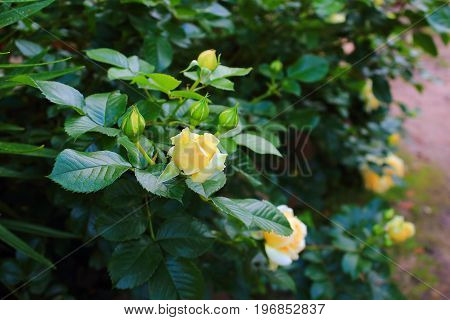 Beautiful yellow garden roses. Rose Bush in the garden. Yellow and white roses on the bushes. Landscaping. Caring for garden shrubs roses. Wallpaper for desktop, foto for calendar