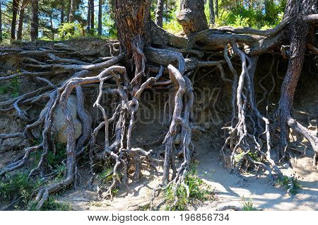 powerful bare wood roots in the forest