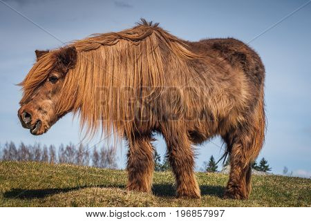 32 year old Icelandic horse with extremly long fur and mane almost like a mammoth