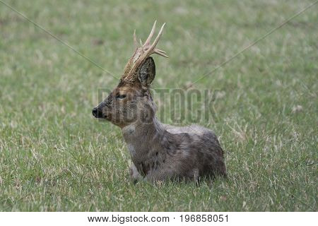 Male roe deer lying in the grass on a field resting in the afternoon sun