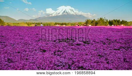 Fuji Shibazakura (also known as pink moss) during Spring in Japan