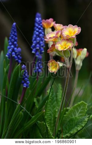 Green leaves, dark blue muscari and a motley primrose have created a small garden composition.