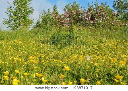 The summer landscape with wild flowers on a meadow rosehip and a butterfly