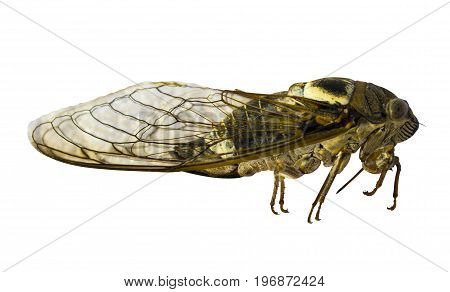 cicada on a white background. cicada isolated. cicada insect