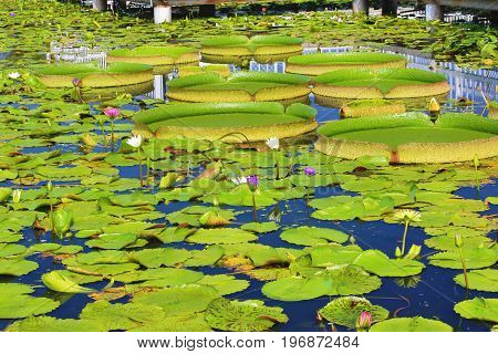 Beautiful scenery of santa cruz waterlily flowers and leaves in the pond in summer