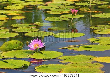 Beautiful scenery of purple waterlily flowers and leaves in the pond in summer
