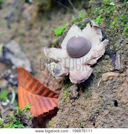 geastrum fimbriatum mushroom known as the fringed earthstar or the sessile earthstar