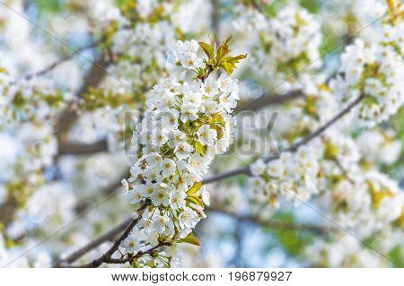 blossoming tree branch on a blurry background of a fruit garden with a bokeh effect