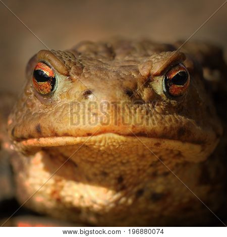 abstract portrait of common brown frog ( Bufo ) looking at the camera