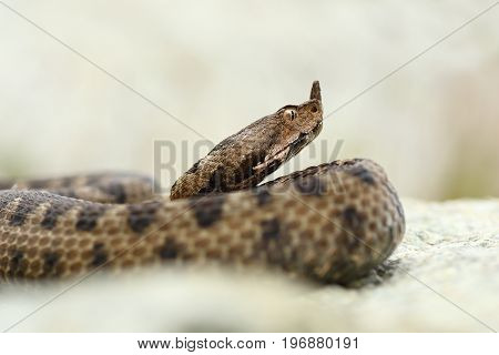 close up portrait of horned adder ( Vipera ammodytes )