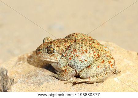 full length image of colorful garlic toad ( Pelobates fuscus )