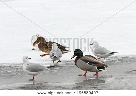 hungry wild birds foraging for food in winter walking on frozen river ( Anas platyrhynchos mallard duck and different gulls )