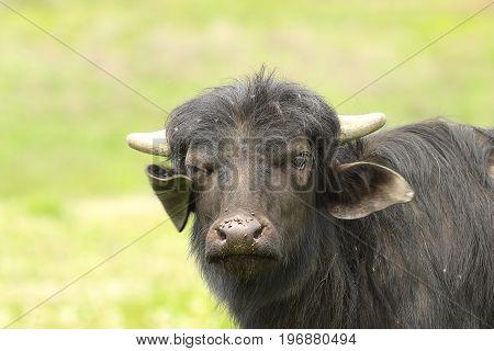 juvenile domestic black bull portrait looking towards the camera ( Bubalus bubalis )