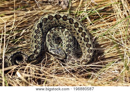 meadow viper hiding in natural habitat ( Vipera ursinii rakosiensis )