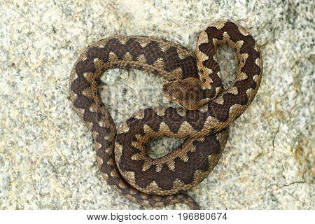 poisonous viper basking on stone in natural habitat ( Vipera ammodytes )