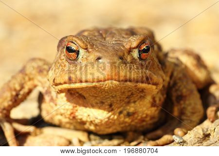 portrait of curious funny brown common toad looking towards the camera ( Bufo )