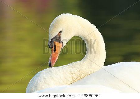 portrait of graceful white swan ( Cygnus olor )