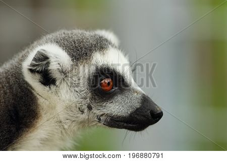 portrait of a cute ring tailed lemur cata