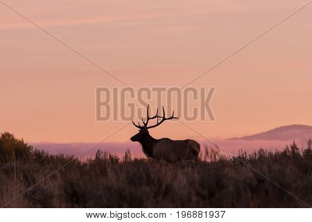 a bull elk silhouetted in the sunrise