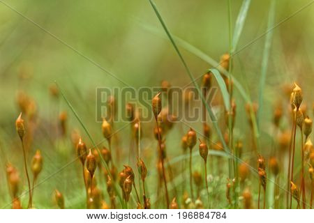 Capsules of common hair moss Polytrichum commune.