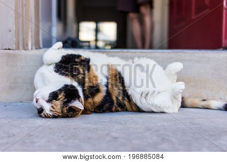 Calico Cat Rolling Around On Back Stretching Outside