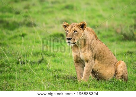 Closeup photography of angry severe lioness going for a hunt