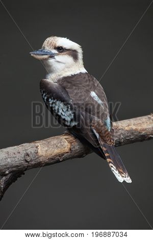 Laughing kookaburra (Dacelo novaeguineae). Wild life animal.