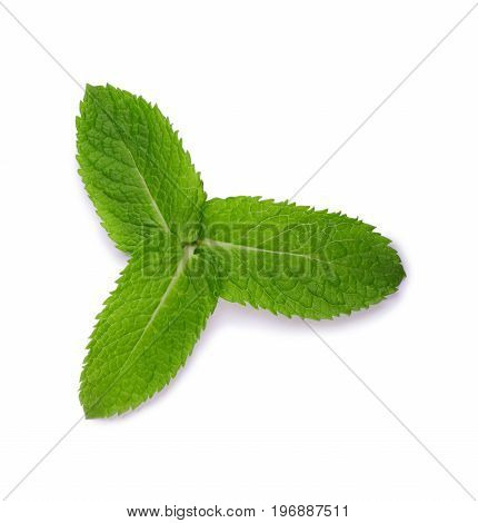 Fresh mint leaves isolated on a white background. Three whole and bright green leaves of mint. Medicinal mint. Set of different leaves. Spearmint and peppermint.
