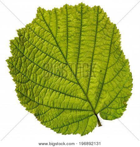 one hazelnut tree leaf close up isolated on white background