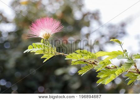 Delicate flower of pink  mimosa tree in sunlight closeup