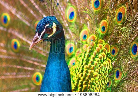 The head of the peacock is against the background of an open bright colored tail. Close-up