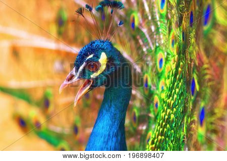 head of a peacock with an open beak against the background of an open bright colored tail. Close-up