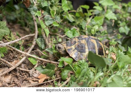One Terrestrial tortoise in a grass- closeup
