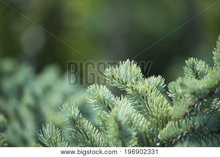the fur-tree branch on blurred abstract background