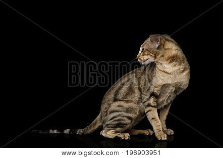 Green Eyed Oriental Cat With Tabby fur and Big Ears Sitting and turn back on Black Isolated Background, side view