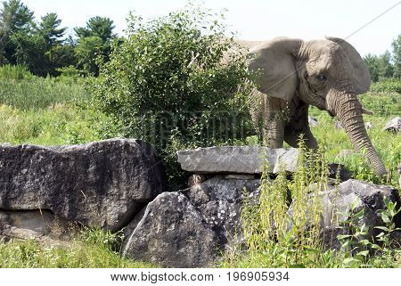 Through the rock and bush comes a large Elephant walking gracefully.