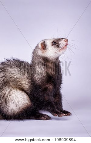 Portrait of cute sable ferret, close up view