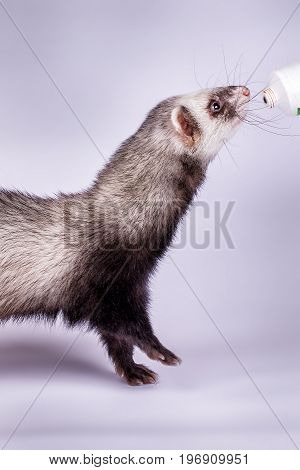 Portrait of cute sable ferret eating the vitamine paste, close up view