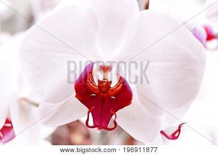 White orchid`s flowers with red midst over clear background