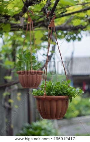 Petunia growing in a pot and suspended in the courtyard to a vineyard