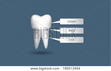 Realistic white tooth on a blue background. Structure of tooth infographics.