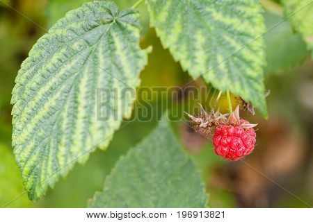 Ripe Berry Of Red Raspberry On Bush Close Up
