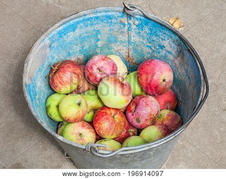 Above View Of Bucket With Fresh Windfall Apples