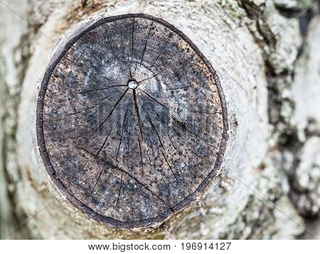 Fly On Cross Section Of Walnut Tree Branch
