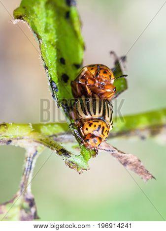 Couple Of Colorado Potato Beetles On Potato Bush